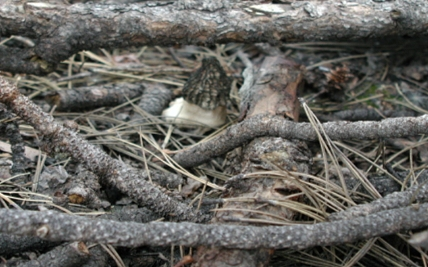 This morel was found in a high intensity burn area