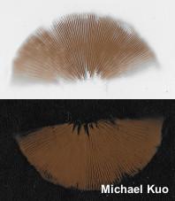 Galerina marginata spore print