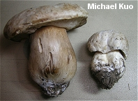 Boletus barrowsii