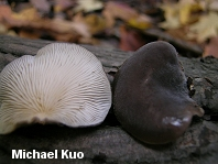 Hohenbuehelia atrocaerulea var. grisea