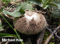 Lycoperdon marginatum