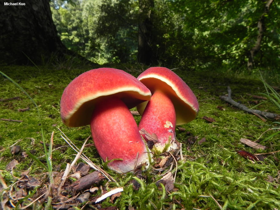 Boletus_bicolor on Both Cells