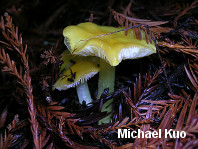 Hygrocybe flavescens