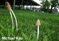 Conocybe deliquescens