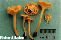 Cantharellus minor