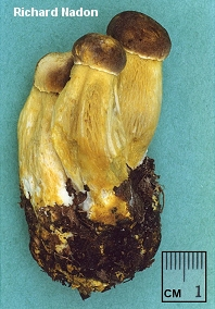 Retiboletus ornatipes
