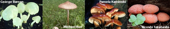 Some mushrooms in the Physalacriaceae Clade