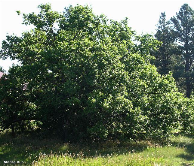Gambel Oak (MushroomExpert.Com)