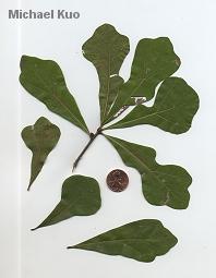 Quercus nigraQuercus Nigra Buds