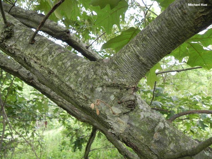 Cherrybark oak mushroomexpert