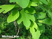 Quercus Velutina Buds North American Trees (...