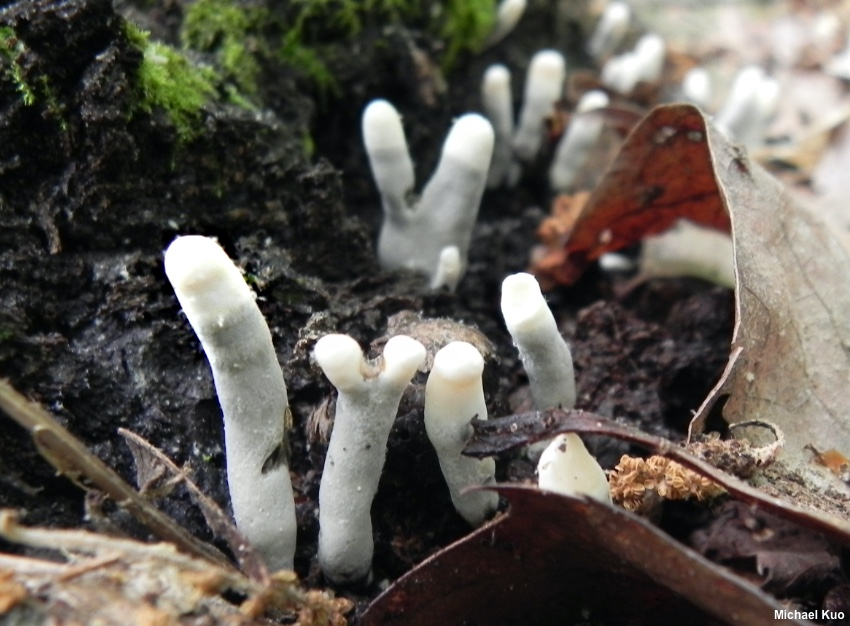 The Genus Xylaria (MushroomExpert.Com)