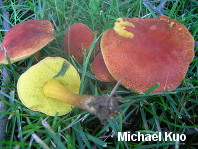Boletus harrisonii