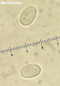 Cyathus striatus
