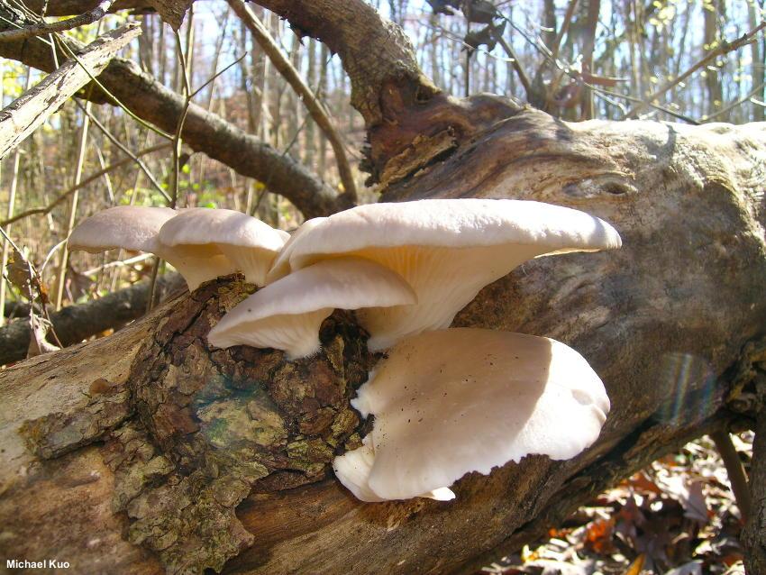 Pleurotus Ostreatus Mushroomexpert