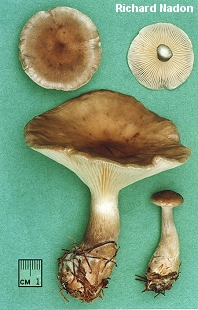 Clitocybe clavipes
